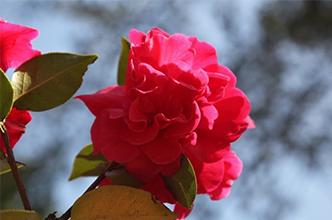 你爱它娇艳的花,我爱它苦香的油